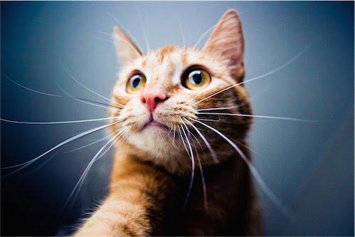 maemuki-cat